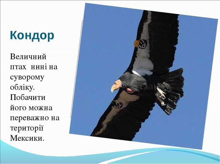 Кондор Величний птах нині на суворому обліку. Побачити його можна переважно н...