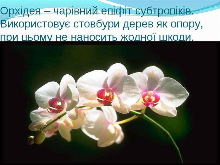 Орхідея – чарівний епіфіт субтропіків. Використовує стовбури дерев як опору, ...