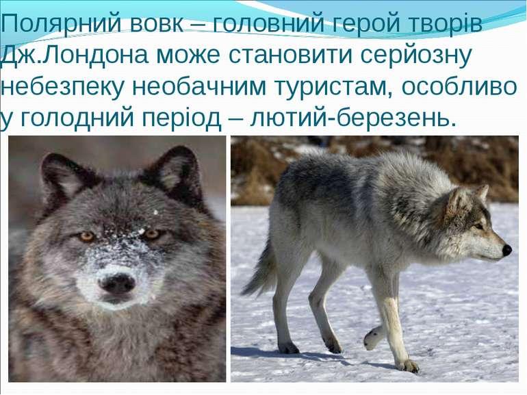 Полярний вовк – головний герой творів Дж.Лондона може становити серйозну небе...