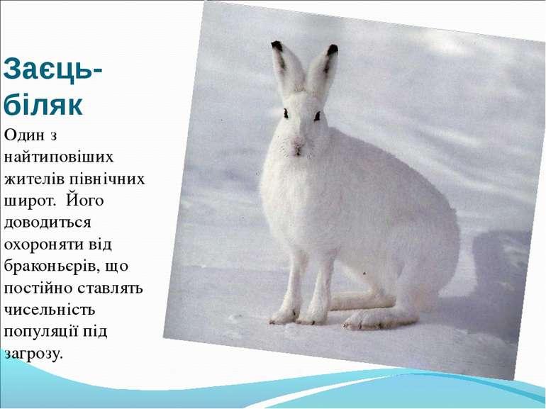 Заєць-біляк Один з найтиповіших жителів північних широт. Його доводиться охор...