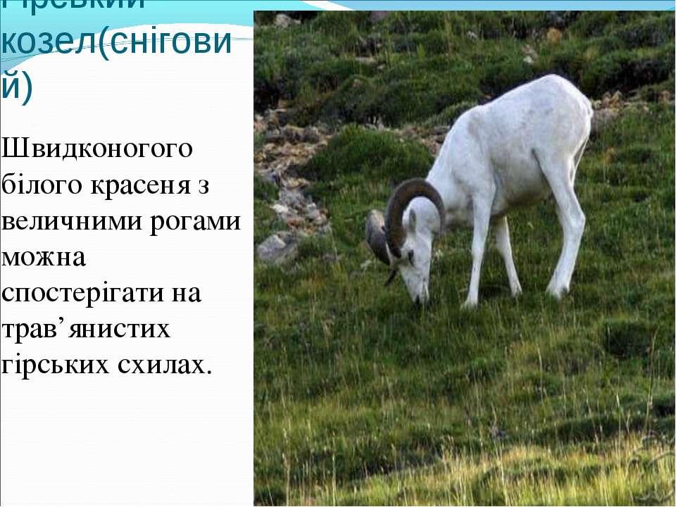 Гірський козел(сніговий) Швидконогого білого красеня з величними рогами можна...