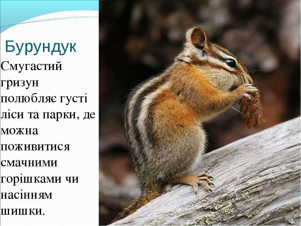 Бурундук Смугастий гризун полюбляє густі ліси та парки, де можна поживитися с...