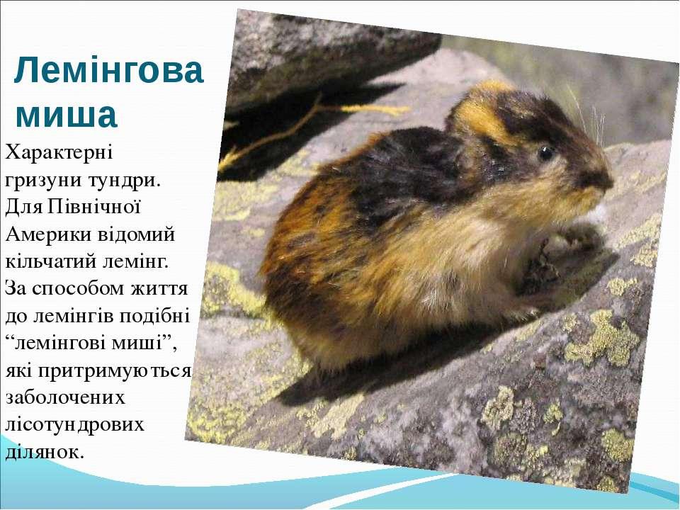 Лемінгова миша Характерні гризуни тундри. Для Північної Америки відомий кільч...