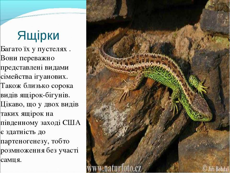 Ящірки Багато їх у пустелях . Вони переважно представлені видами сімейства іг...