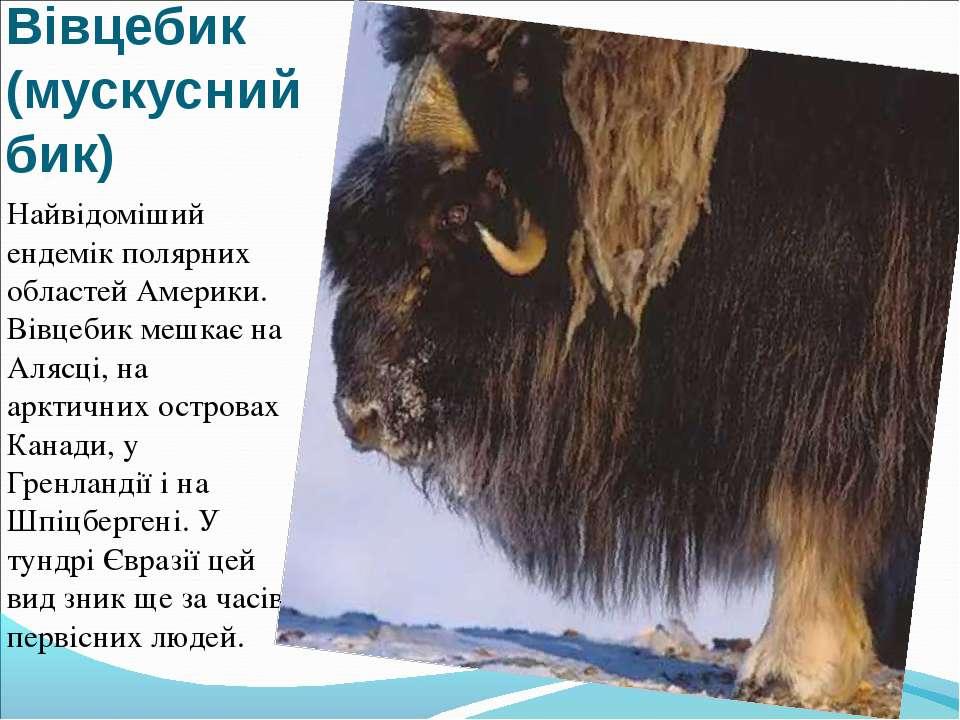 Вівцебик (мускусний бик) Найвідоміший ендемік полярних областей Америки. Вівц...