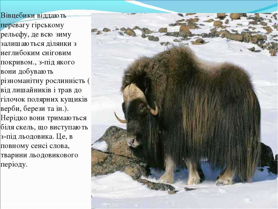 Вівцебики віддають перевагу гірському рельєфу, де всю зиму залишаються ділянк...