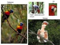 Райдужні папуги Сірий африканський папуга Ара Какаду