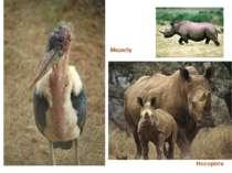 Носороги Марабу