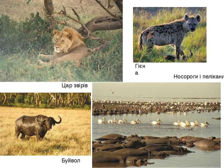 Носороги і пелікани Цар звірів Буйвол Гієна