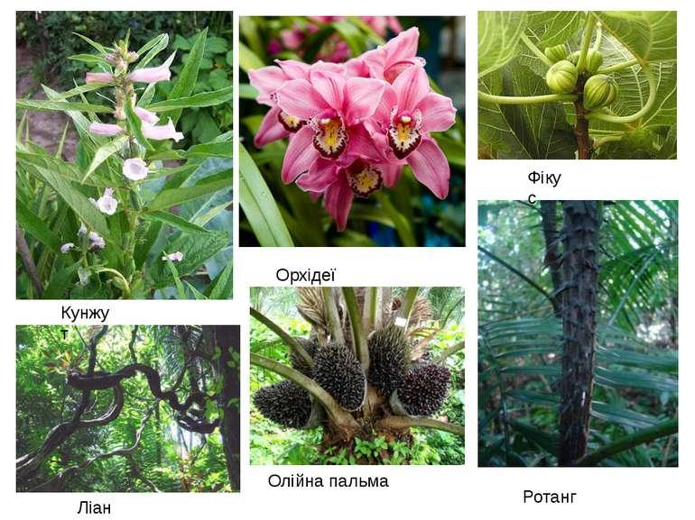 Ротанг Орхідеї Олійна пальма Фікус Ліани Кунжут