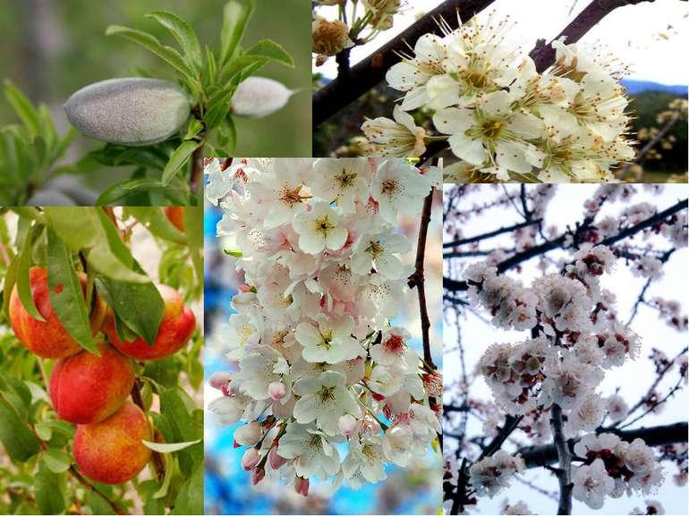 Підродина Мигдалеві (Amygdaloideae або Prunoideae): Традиційно ті роди, чиї п...