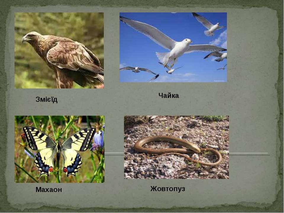 Змієїд Чайка Жовтопуз Махаон