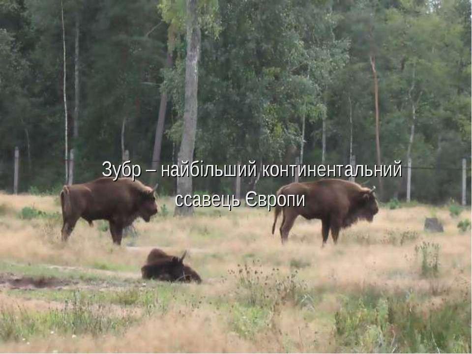 Зубр – найбільший континентальний ссавець Європи