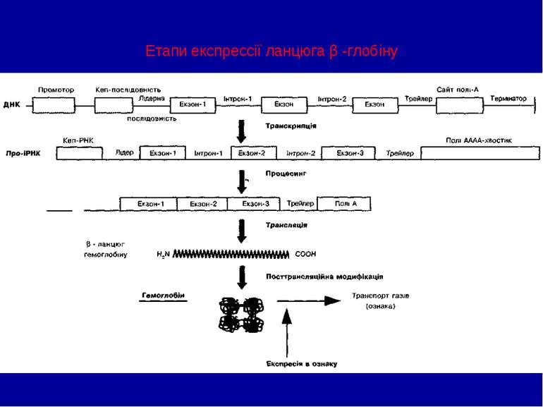 Етапи експрессії ланцюга β -глобіну
