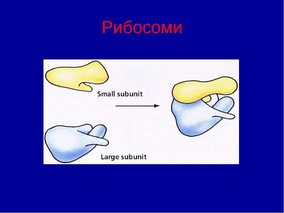 Рибосоми
