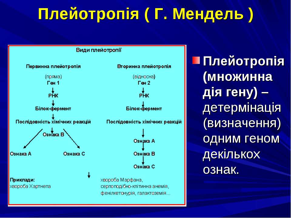 Плейотропія ( Г. Мендель ) Плейотропія (множинна дія гену) – детермінація (ви...