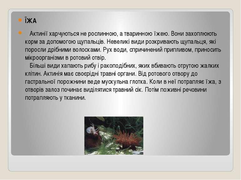 ЇЖА  Актинії харчуються не рослинною, а тваринною їжею. Вони захоплюють кор...