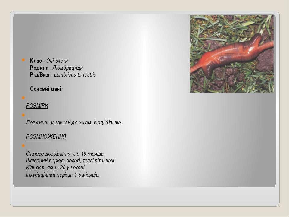 Клас-Олігохети Родина-Люмбрициди Рід/Вид-Lumbricus terrestris ...
