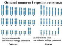 Основні поняття і терміни генетики (a) сукупність генів диплоїдного набору хр...