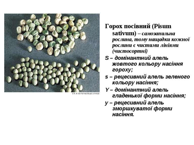 Горох посівний (Pisum sativum) – самозапильна рослина, тому нащадки кожної ро...