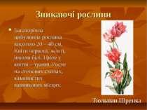 Зникаючі рослини Багаторічна цибулинна рослина висотою 20 – 40 см. Квіти черв...