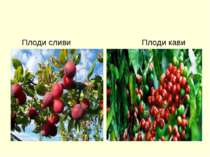 Плоди сливи Плоди кави