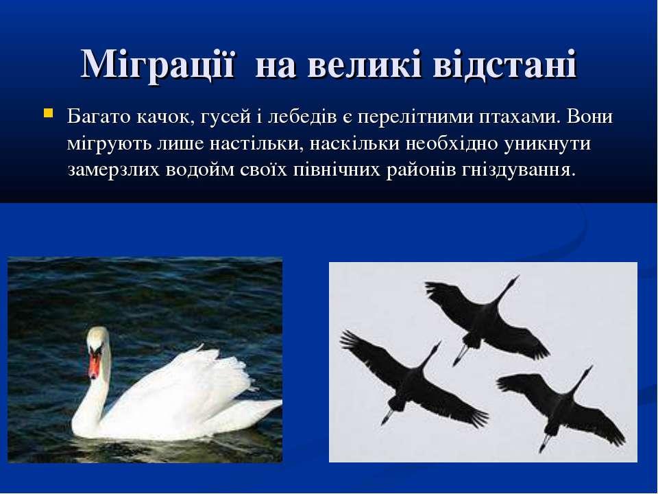 Міграції на великі відстані Багато качок, гусей і лебедів є перелітними птаха...