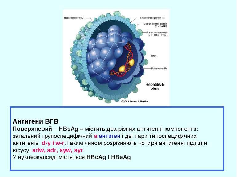 Антигени ВГВ Поверхневий – HBsAg – містить два різних антигенні компоненти: з...