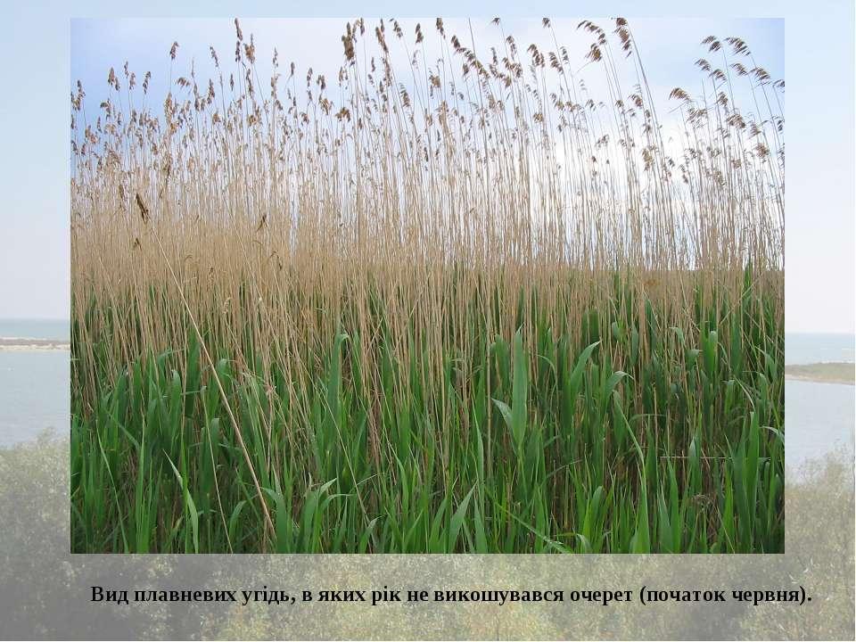 Вид плавневих угідь, в яких рік не викошувався очерет (початок червня).