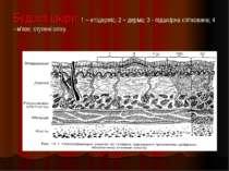 Будова шкіри: 1 – епідерміс; 2 – дерма; 3 - підшкірна клітковина; 4 - м'язи; ...