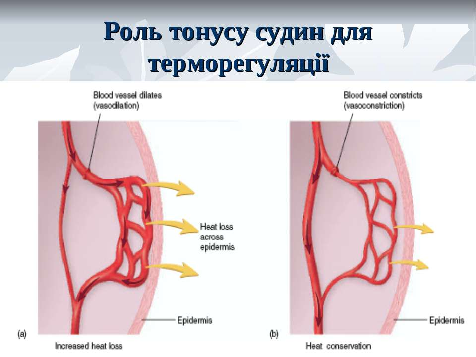 Роль тонусу судин для терморегуляції