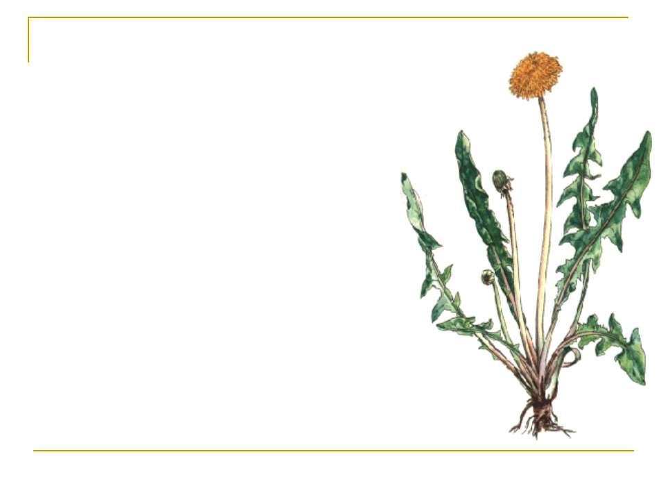 Корені кульбаби – Radices Taraxaci Кульбаба звичайна Taraxacum officinale Род...