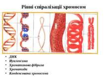 Рівні спіралізації хромосом ДНК Нуклеосома Хроматинова фібрила Хроматида Конд...