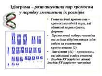 Ідіограма – розташування пар хромосом у порядку зменшення їх розмірів Гомолог...