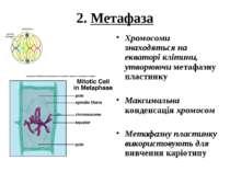 2. Метафаза Хромосоми знаходяться на екваторі клітини, утворюючи метафазну пл...