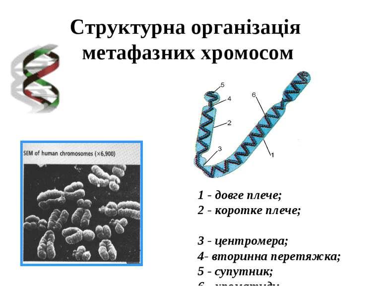 Структурна організація метафазних хромосом 1 - довге плече; 2 - коротке плече...