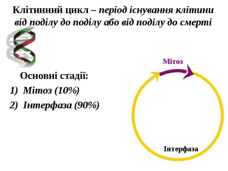 Клітинний цикл – період існування клітини від поділу до поділу або від поділу...