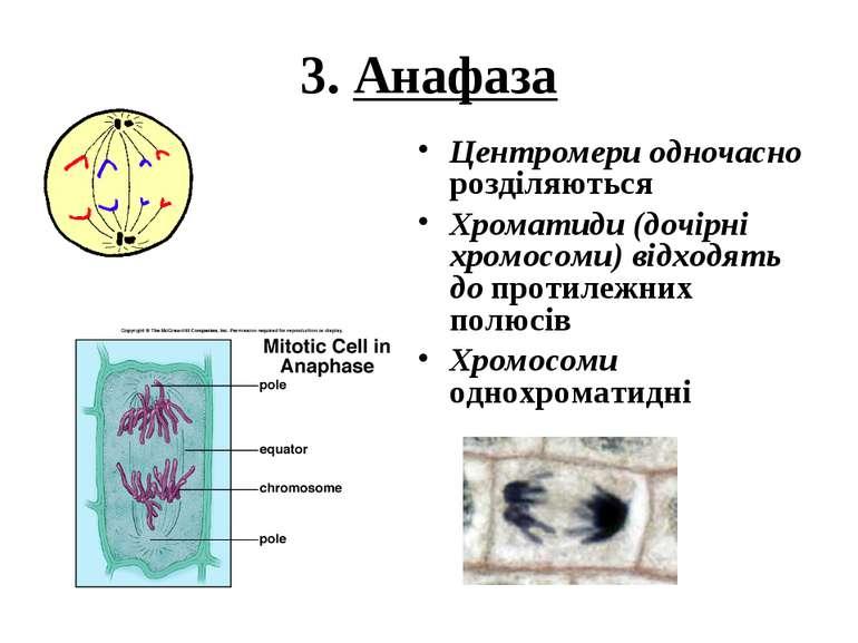 3. Анафаза Центромери одночасно розділяються Хроматиди (дочірні хромосоми) ві...