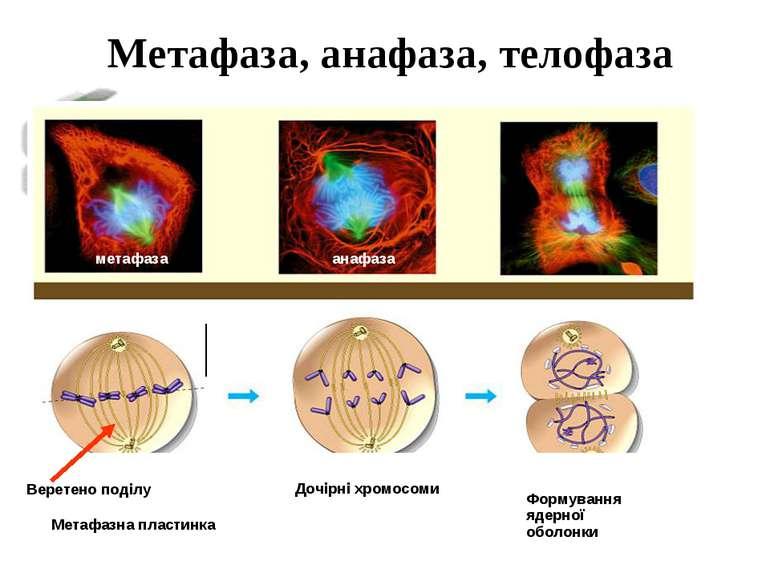 Метафаза, анафаза, телофаза метафаза Метафазна пластинка Веретено поділу Дочі...