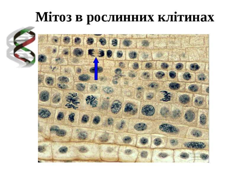 Мітоз в рослинних клітинах