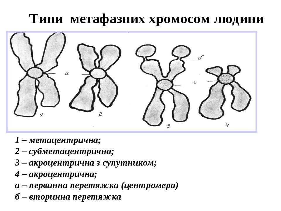 Типи метафазних хромосом людини 1 – метацентрична; 2 – субметацентрична; 3 – ...
