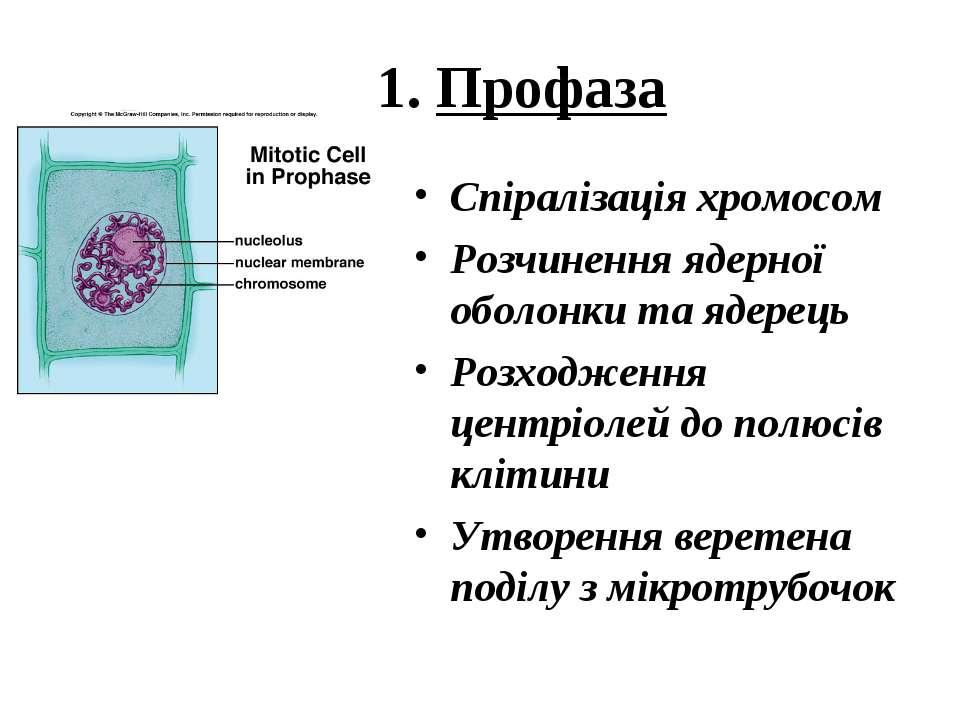 1. Профаза Спіралізація хромосом Розчинення ядерної оболонки та ядерець Розхо...