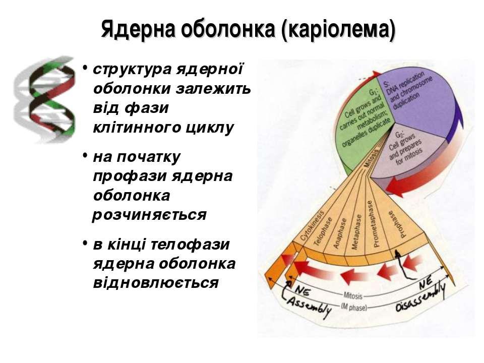 Ядерна оболонка (каріолема) структура ядерної оболонки залежить від фази кліт...