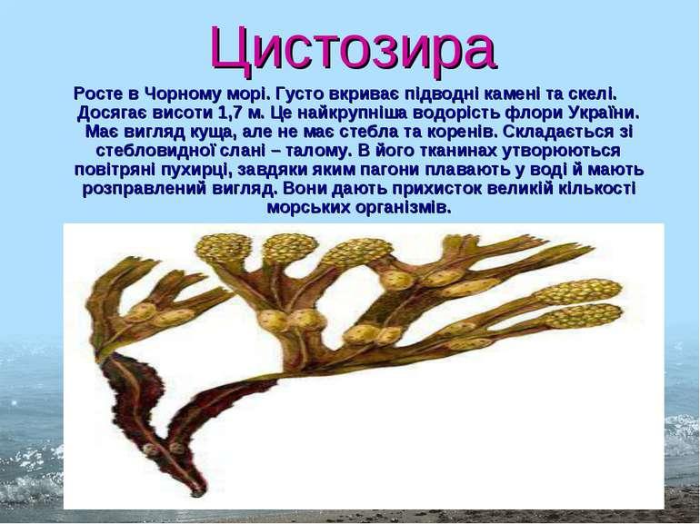 Цистозира Росте в Чорному морі. Густо вкриває підводні камені та скелі. Досяг...