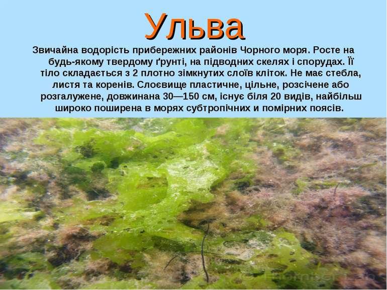 Ульва Звичайна водорість прибережних районів Чорного моря. Росте на будь-яком...