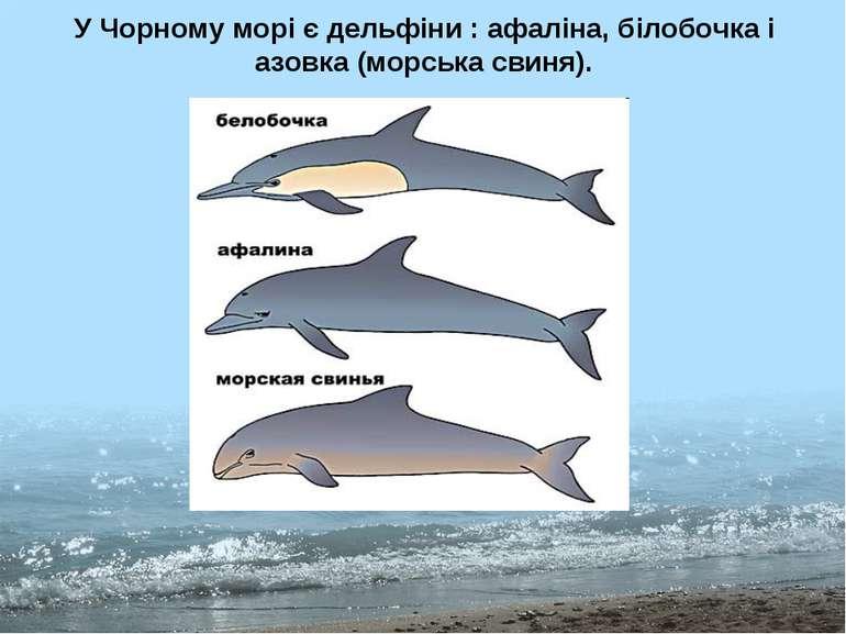 У Чорному морі є дельфіни : афаліна, білобочка і азовка (морська свиня).