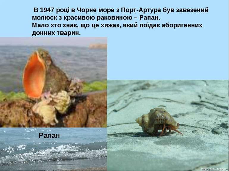 Рапан В 1947 році в Чорне море з Порт-Артура був завезений молюск з красивою ...