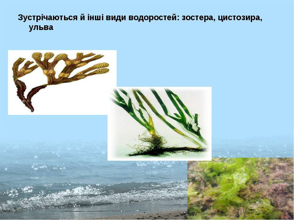 Зустрічаються й інші види водоростей: зостера, цистозира, ульва