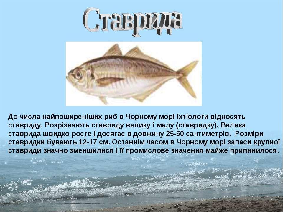 До числа найпоширеніших риб в Чорному морі іхтіологи відносять ставриду. Розр...