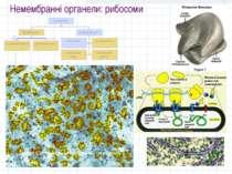 Немембранні органели: рибосоми
